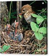 Veery At Nest Acrylic Print