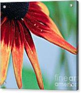 Velvet Petals Acrylic Print