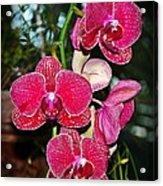 Velvet Petals Acrylic Print by Liudmila Di