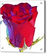 Velvet Rose Bud 2 Acrylic Print