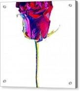 Velvet Rose Bud Acrylic Print