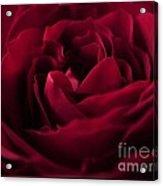 Velvet Rose Mirrored Edge Acrylic Print