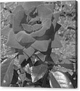 Velvet Rose Acrylic Print