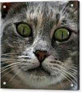 Venetian Cat Acrylic Print