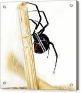 Venomous Black Widow Spider Acrylic Print