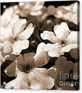 Verbena Named White Hail Acrylic Print