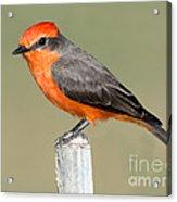 Vermilion Flycatcher Pyrocephalus Acrylic Print