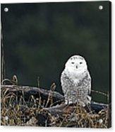Vermont Snowy Owl Acrylic Print