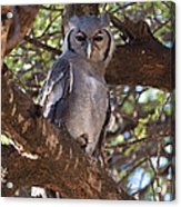 Verreauxs Eagle Owl In Tree Acrylic Print