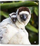 Verreauxs Sifaka With Baby Madagascar Acrylic Print