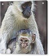 Vervet Monkeys Acrylic Print