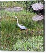 Very Hungry Blue Heron Acrylic Print