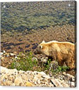 Very Light-colored Grizzly Bear In Moraine River In Katmai Nnp-ak Acrylic Print