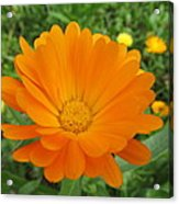 Very Lovely Orange Bloom Acrylic Print