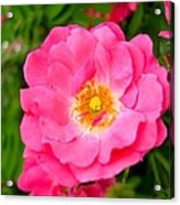 Very Pink Rose Acrylic Print