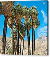 Very Tall Fan Palms In Andreas Canyon In Indian Canyons-ca Acrylic Print