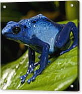 Very Tiny Blue Poison Dart Frog Acrylic Print