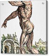 Vesalius: Muscles 02, 1543 Acrylic Print