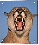 V.hurst Tk21663d, Mountain Lion Growling Acrylic Print