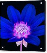 Vibrant Blue Single Dahlia With Pink Centre On Black. Acrylic Print