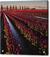 Vibrant Dusk Tulips Acrylic Print