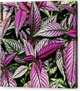 Vibrant Persian Shield II Acrylic Print