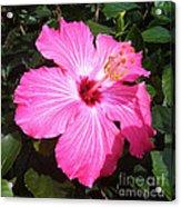 Vibrant Pink Hibiscus Acrylic Print