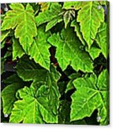 Vibrant Young Maples - Acer Acrylic Print