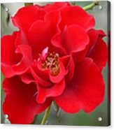 Vibrantly Red Rose Acrylic Print