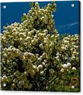 Viburnum Opulus Compactum Bush With White Flowers Acrylic Print