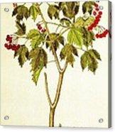 Viburnum Opulus Acrylic Print