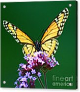 Viceroy Butterfly Square Acrylic Print