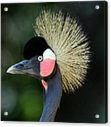 Victoria Crowned Crane Acrylic Print