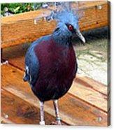 Victoria Crowned Pigeon Strutting Around Acrylic Print
