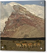 Vicuna Herd Grazing At Mt Chimborazo Acrylic Print