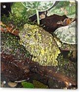 Vietnamese Mossy Frog Acrylic Print