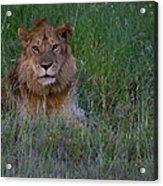 Vigilant Lion Acrylic Print