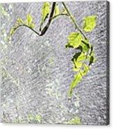 Vine Acrylic Print