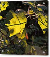 Vine Leaves At Sunset Acrylic Print