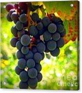 Vine Purple Grapes  Acrylic Print