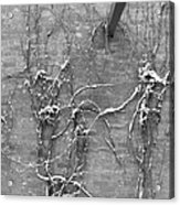 Vines After Snow In Black And White Acrylic Print