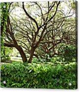 Vines And Oaks Acrylic Print