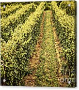 Vines Growing In Vineyard Acrylic Print by Elena Elisseeva