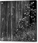 Vines On The Shed Acrylic Print