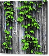 Vines On The Side Of A Barn Acrylic Print