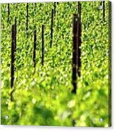 Vineyard 24056 Acrylic Print