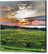 Vineyard At Sunrise Acrylic Print by Steven Ainsworth
