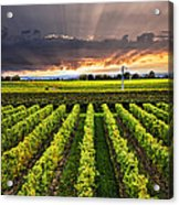 Vineyard At Sunset Acrylic Print