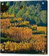 Vineyard Fall Acrylic Print