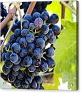 Vineyard Grapes Acrylic Print